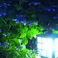 Photos: 夜紫陽花