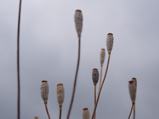 ナガミヒナゲシの実