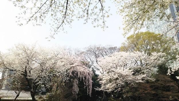 むしろ暑かったよ~ #桜 #靖国神社
