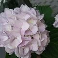 写真: 毎年思うがやれてない。頭にのっけてみたい #紫陽花 #冠