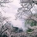 Photos: 2019 桜