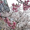 会社付近の桜