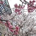 Photos: 会社付近の桜