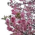 会社付近の桜2