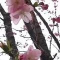 会社付近の桜3