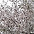 会社付近の桜4