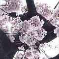 写真: 桜 2017