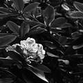 写真: 名残の石楠花