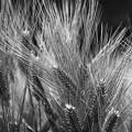 写真: 麦畑にて