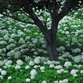 写真: アジサイと樹