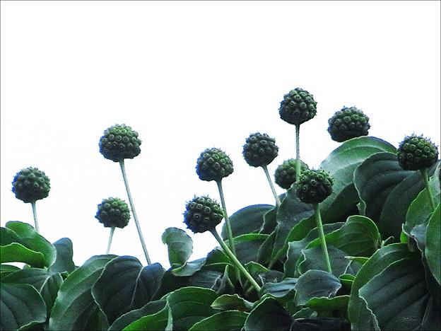 ヤマボウシ ー 青い果実