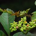 写真: ヤブガラシ(ブドウ科:藪枯らし、別名:ビンボウカズラ)
