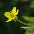写真: 畦道の春 14/20 キツネノボタン
