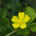 写真: 畦道の春 17/20 ヘビイチゴ IMGP8830A