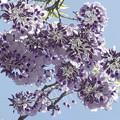 写真: フジの花 - 藤の花は長いだけじゃない