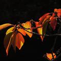 写真: ソメイヨシノの秋