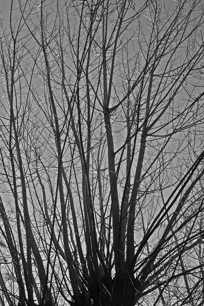 冬の樹影1-ヤマナラシ(山鳴、ヤナギ科)