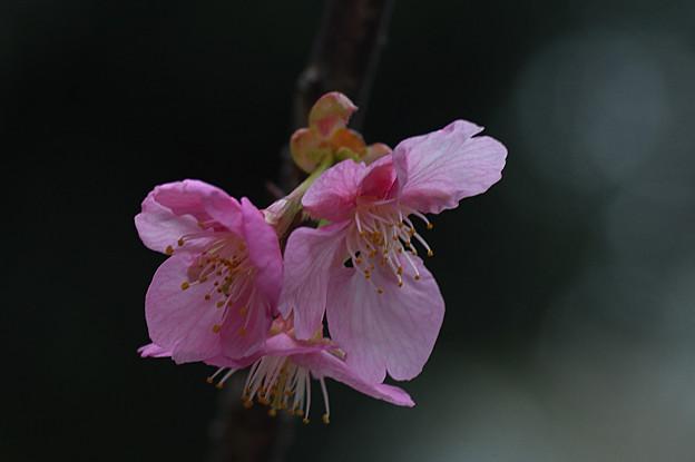 Photos: カワヅザクラ(河津桜)