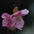 写真: カワヅザクラ(河津桜)