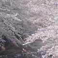 地元の桜 2019