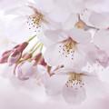 Photos: 桜-2009