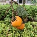 Photos: 柿が食べ頃のようで