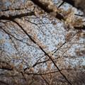 Photos: 桜のプラネタリウム