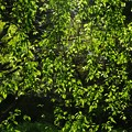 Photos: 緑のカーテン