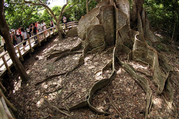西表島大木