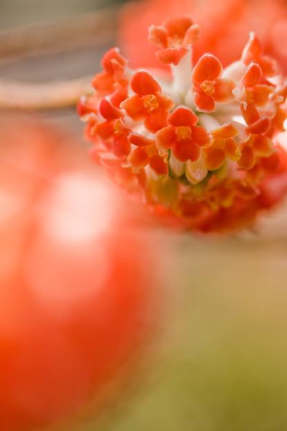赤い玉の花