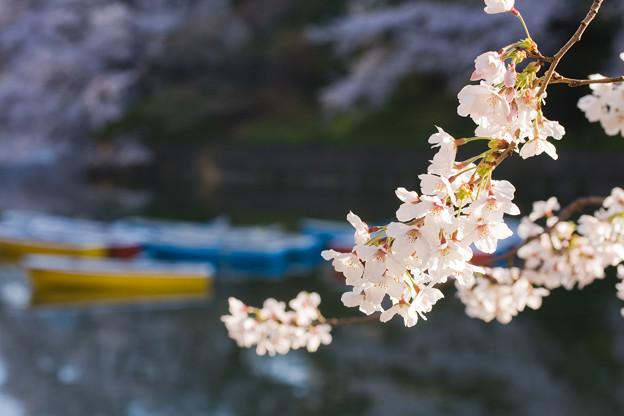 桜×ボート