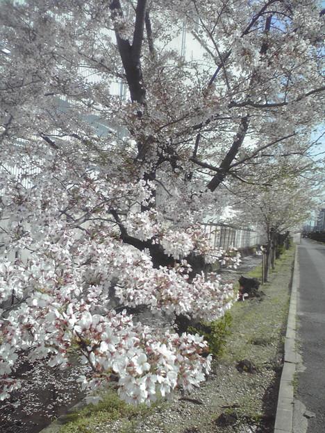 兵庫県の塚口駅まで出張して桜が満開でした(^O^)