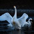Photos: 白鳥-3