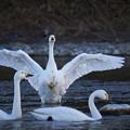 Photos: 白鳥-2