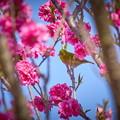 Photos: 桃とメジロ