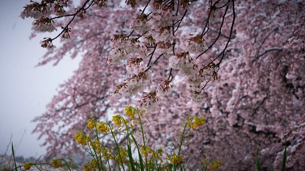 雪と桜と菜の花-2