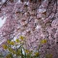 Photos: 雪と桜と菜の花-2