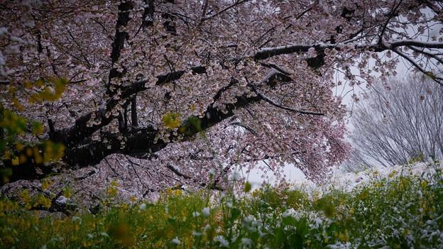 雪と桜と菜の花-1