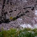 Photos: 雪と桜と菜の花-1