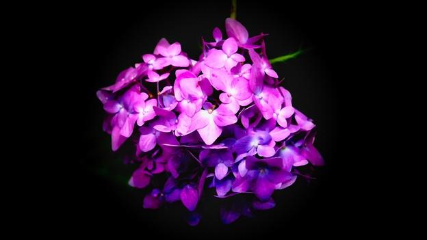 紫陽花-紫