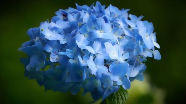 紫陽花-青