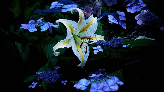紫陽花と山百合