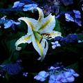 Photos: 紫陽花と山百合