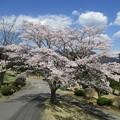 足利カントリークラブ多幸コースハウス前の満開の桜?2017.4.13