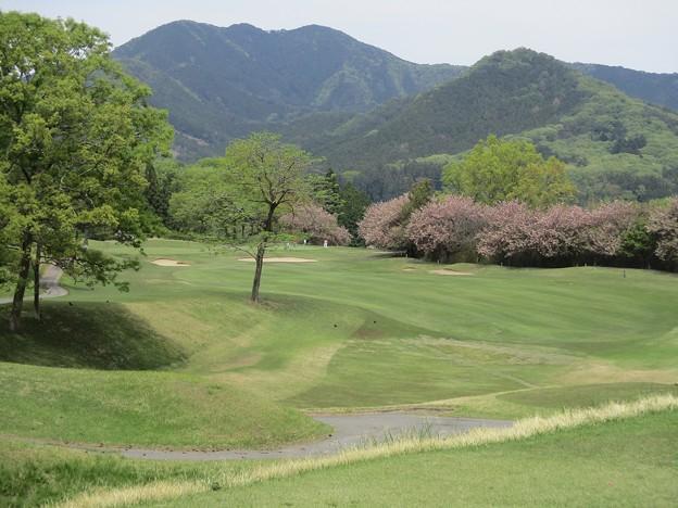 Photos: 足利カントリークラブ多幸コース13番の八重桜? 2017.5.3
