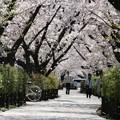 Photos: 桜、さくら♪
