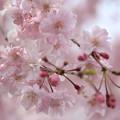 しだれ桜☆彡