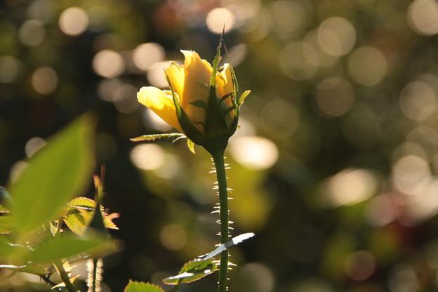 黄色のバラ♪