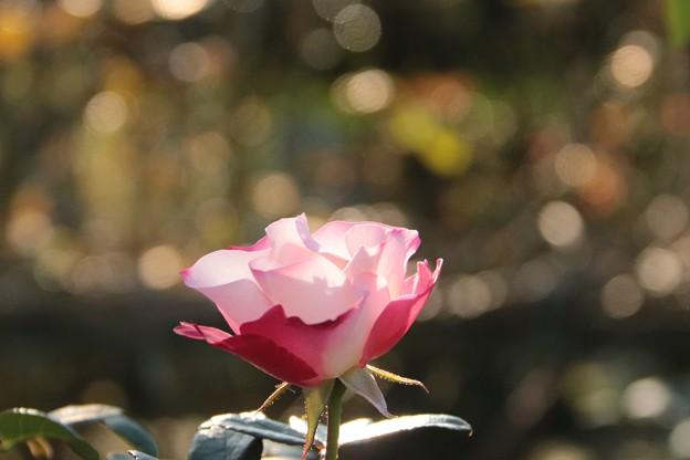 優しいピンクの薔薇~♪