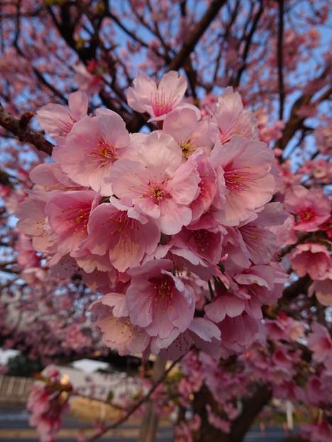写真: 安行寒桜(あんぎょうかんざくら)